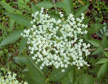 Ifiori sbocciano in primavera-estate, sono piccoli, odorosi, biancastri, a 5lobi petaliformi ...